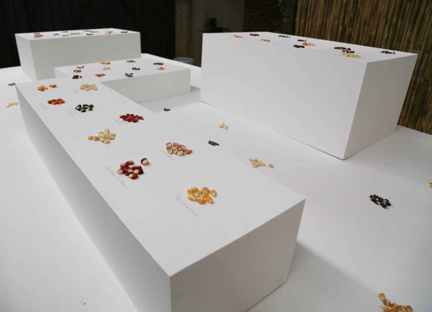 varietals of corn placed on tables to represent the altitude and location of the endemic species